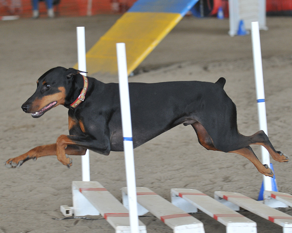Doberman-Agility-dog-agility-8641814-1000-800