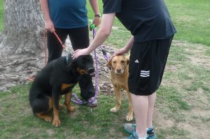 Millie and her pal meet a new person at the park. Their demeanor remains calm, critical to the handler.