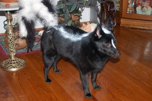 dog-as-skunk-halloween-costume